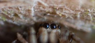 Peepo, jumping spider