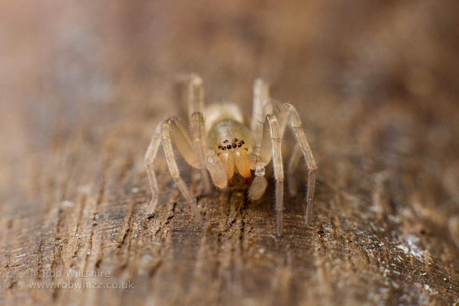 Honey Monster Spider